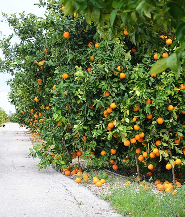 orange ginger smoothie